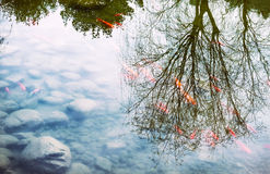 Fancy carp swimming with reflex tree Stock Photos