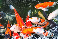 Fancy carp in the temple. Chinese people  believes colorful fish is a sign for luck Stock Image