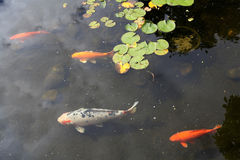 Fancy Carps Royalty Free Stock Images