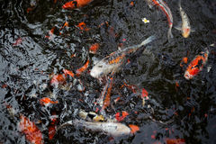 Fancy carps. Swimming in the water flow Stock Photo