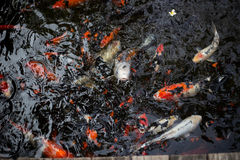 Fancy carps. Swimming in the water flow Stock Photos