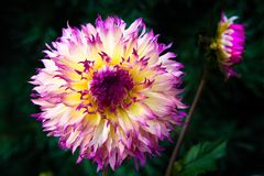 Fancy Dahlia in yellow and pink with dark background Stock Images