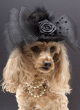 Fancy Dog. A poodle wearing a pearl necklace and a fancy black hat with lace,feathers and mesh bow, isolated on a gray background stock image