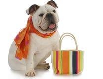 Fancy dog. English bulldog wearing silk scarf with matching colorful purse on white background Stock Image