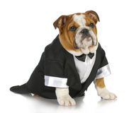 Fancy dog Royalty Free Stock Photos