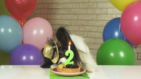 Fancy Dog Papillon eating birthday cake with candle stock images