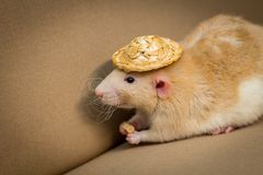 Pet Rat Straw Hat. Fancy fawn colored dumbo eared pet rat wearing straw hat Stock Photos