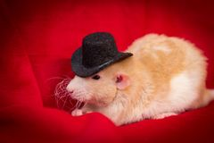 Pet Rat Top Hat. Fancy fawn colored dumbo eared pet rat wearing top hat Royalty Free Stock Photography