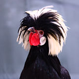 Fancy Fowl Royalty Free Stock Photo