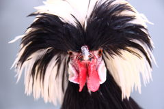 Fancy Fowl Royalty Free Stock Photography