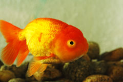 Fancy Goldfish stock image
