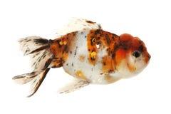 Fancy Goldfish. Isolated on white background Stock Photos