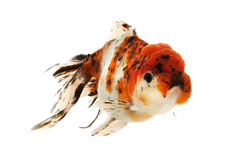 Fancy Goldfish Stock Images
