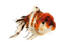 Fancy Goldfish. Isolated on white background Stock Images