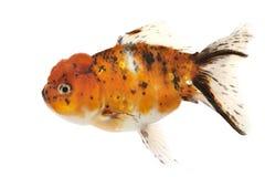 Fancy Goldfish. Isolated on white background Royalty Free Stock Photos