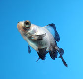 Fancy goldfish on blue background Royalty Free Stock Image