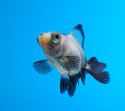 Fancy goldfish on blue background Royalty Free Stock Photos
