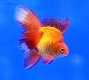 Fancy goldfish on blue background Stock Images