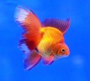 Fancy goldfish on blue background Stock Images