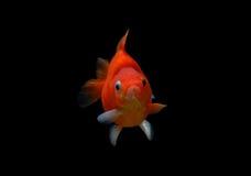 Fancy goldfish isolated on black background Stock Photo