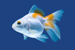 Fancy Goldfish Isolated. Fantail Goldfish Isolated On Blue High Quality Studio Aquarium Shot royalty free stock photos