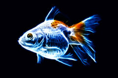 Fancy Goldfish Isolated. Fantail Goldfish Isolated On Blue High Quality Studio Aquarium Shot stock photography