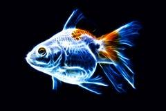 Fancy Goldfish Isolated Stock Photography