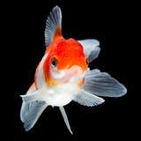 Fancy Goldfish Isolated Stock Images