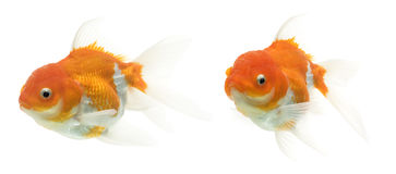 Fancy Goldfish Series Stock Images