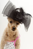 Fancy Hat and Polka Dots. A poodle in a polka dot dress and fancy black hat with a bow and feathers Royalty Free Stock Images