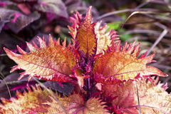 Fancy Leaf Coleus Stock Photo