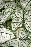 Fancy Leaved Caladium. A depth of field shot of layered green and white fancy-leaved caladia, or angel-wings leaves Royalty Free Stock Photography