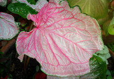 Fancy leaved caladium. The colorful leave of fancy caladium royalty free stock image