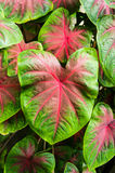 Fancy Leaved Caladium Royalty Free Stock Image