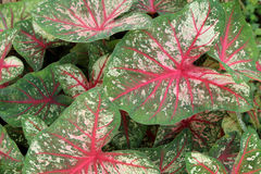 Fancy Leaved Caladium, plant background Stock Image