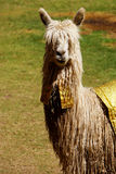 Fancy Llama. A llama dressed up to be a part of a parade in Cuzco, Peru Stock Photography