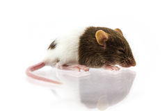 Fancy mice or Rat Royalty Free Stock Photos