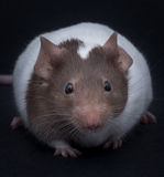 Fancy Mouse Stock Images
