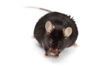 Fancy Mouse, Mus musculus domesticus Royalty Free Stock Images