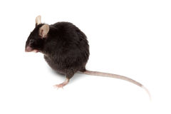Fancy Mouse, Mus musculus domesticus Royalty Free Stock Photo