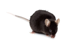 Fancy Mouse, Mus musculus domesticus Stock Image