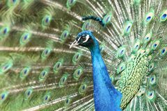 Fancy peacock Stock Images