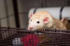 Fancy Pet Rat. Fancy fawn colored dumbo eared pet rat at the edge of open cage Stock Photos
