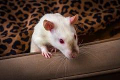 Fancy Pet Rat Sofa stock images