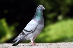 Fancy pigeon. Picture of nice fancy pigeon Stock Image