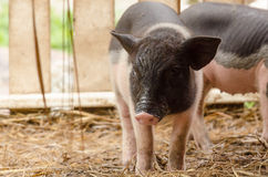 Fancy piglet Royalty Free Stock Images