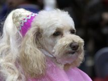 Fancy Poodle Royalty Free Stock Photo