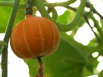 Fancy pumpkin. Fancy orange pumpkin growing in organic farm Stock Photography