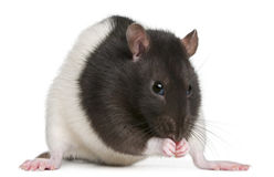 Fancy Rat, 1 year old Royalty Free Stock Photo