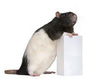 Fancy Rat, 1 year old, standing against box Royalty Free Stock Photography